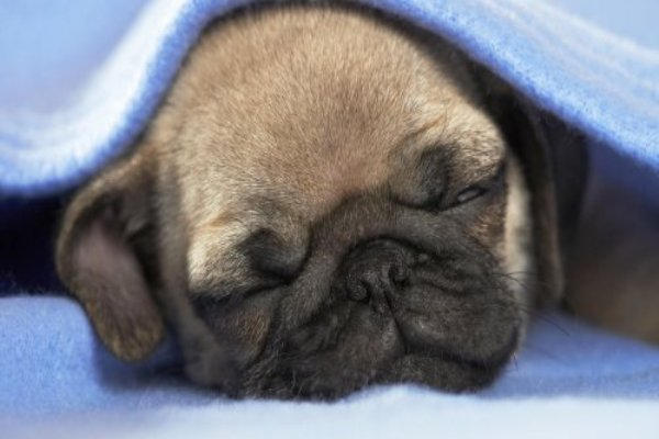 Tips To Take Care Of Pug Puppy