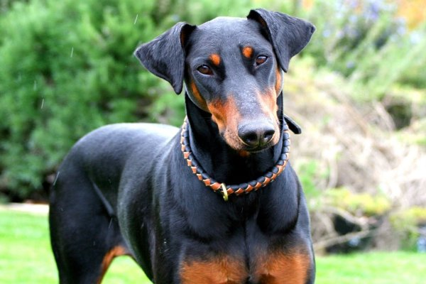 Top 10 Dog Breeds for Dog lovers in India