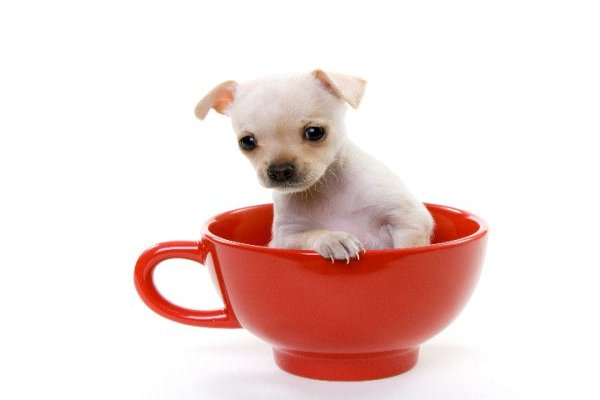 Teacup Chihuahua - Care Tips and Breed Information